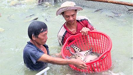 Giá cá thát lát giảm mạnh, đầu ra gặp khó